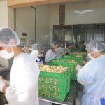 Revelan los efectos de las políticas para bananeros